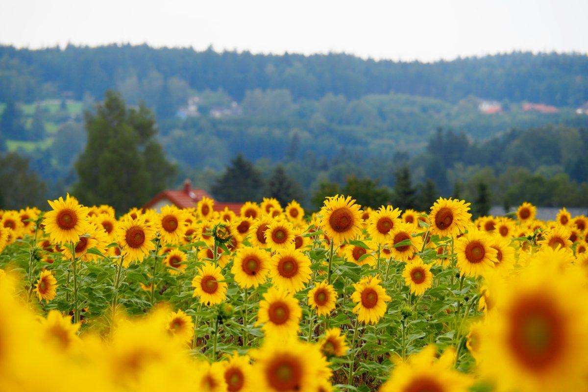Sonnenblumen, Drachenboote und Tomatensoße
