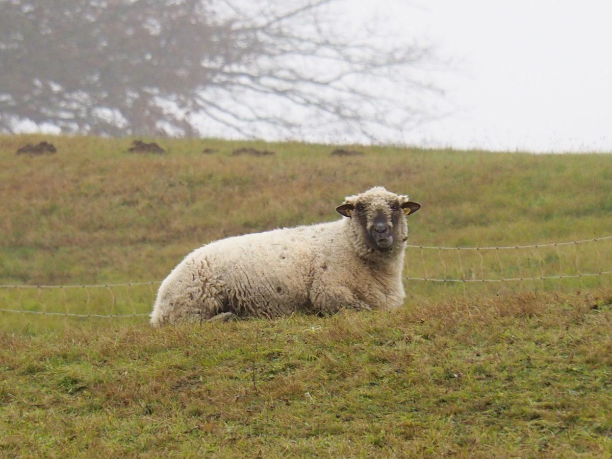 Schafe, Nieselregen und gutes Essen