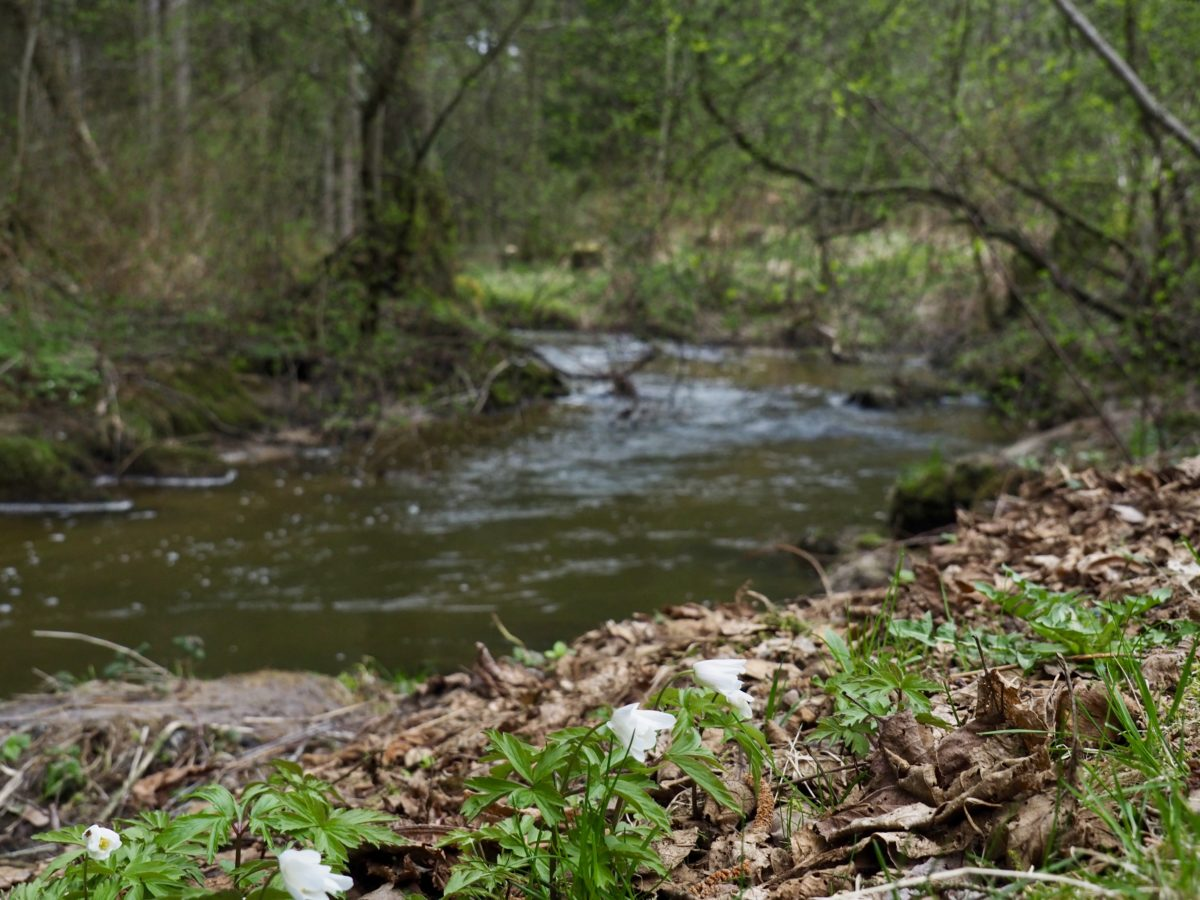 Magnolien, Hornwehr und Buschwindröschen