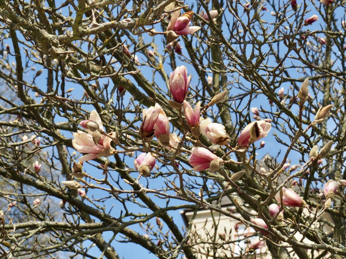 Obstbaumblüte, Sumpfdotterblumen und eine traurige Nachricht – Coronawoche 5