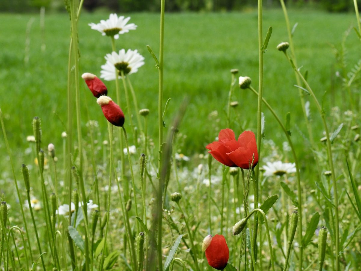 Wieder in Wien, Blumen am Feld und ein kühles Pfingstwochenende