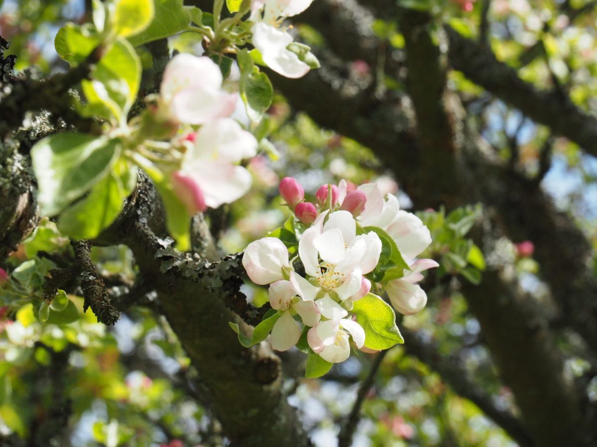 Apfelbaumblüte, langersehnter Regen und Coronastaffelfinale in Woche 7