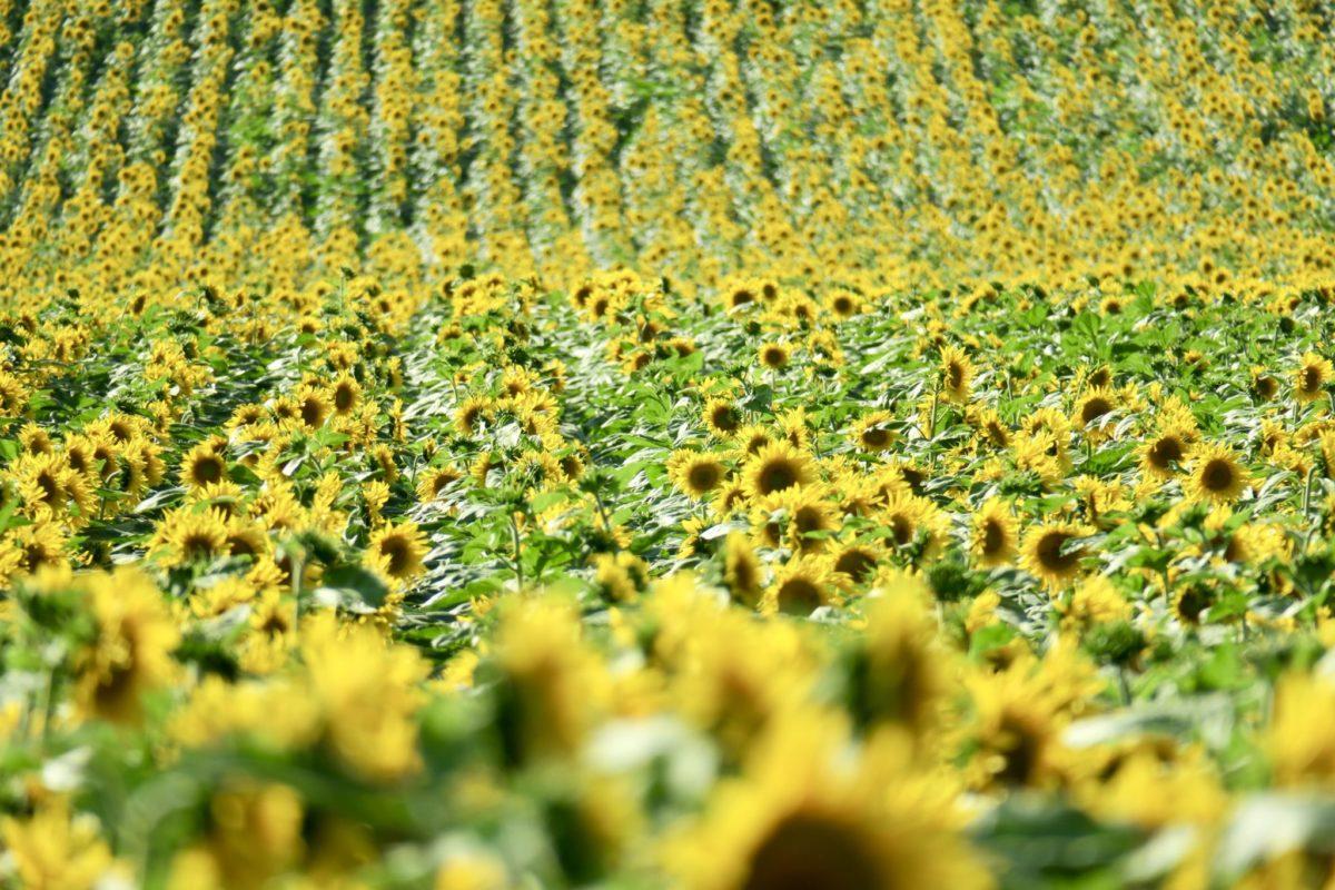 Fürstenwasser, Sonnenblumen und ein Topfenmarillenkuchen